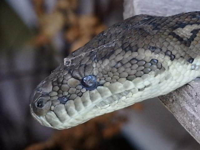 close up of a head of a carpet python