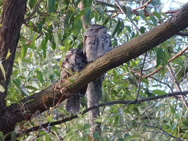 An adult and a baby tawny frogmouth enjoying a peaceful summer afternoon.