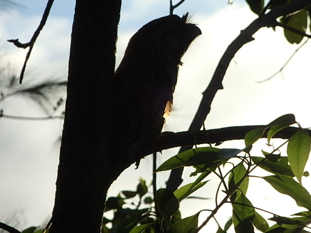 A tawny frogmouth silhouetted against the setting summer sun.
