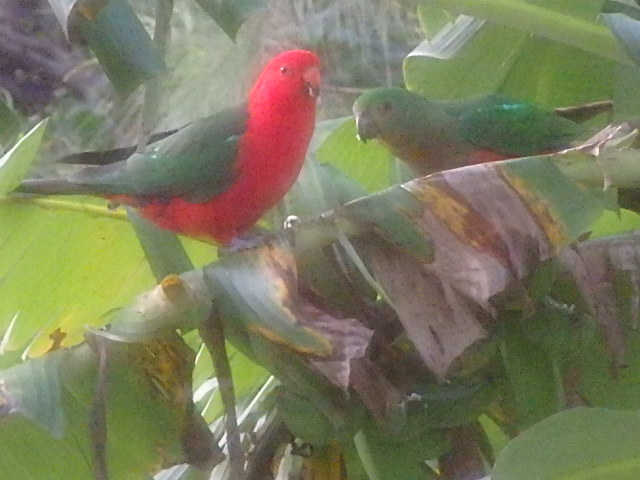 Male and female king parrots