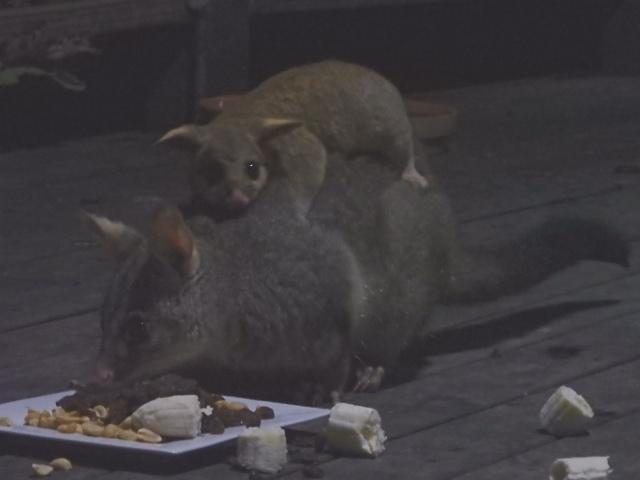 baby possum 210715
