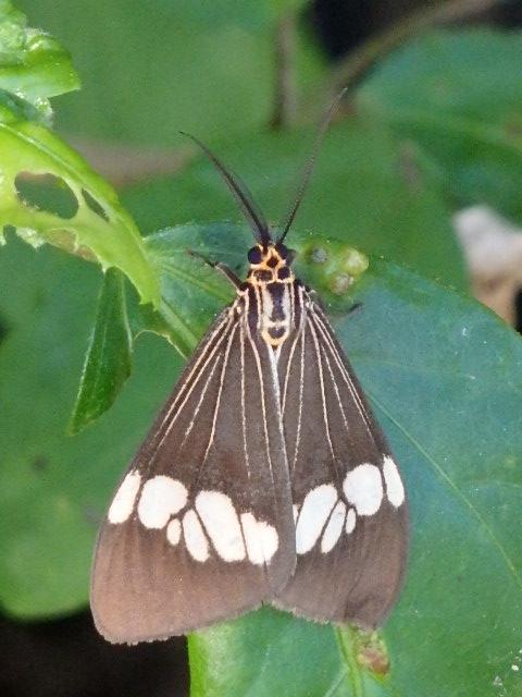 australia magpie moth