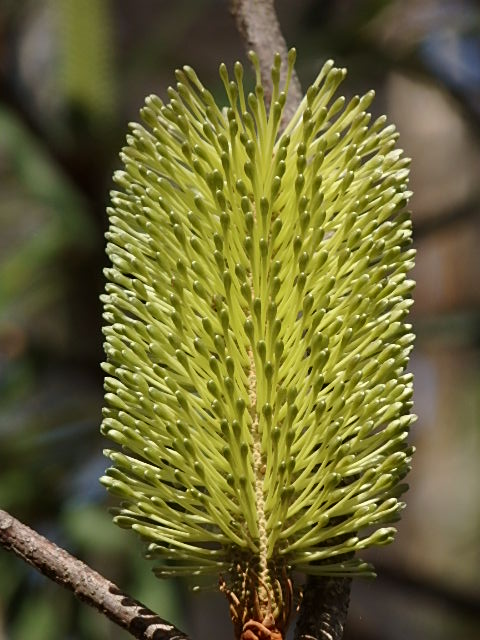 australian native flower green bottlebrush
