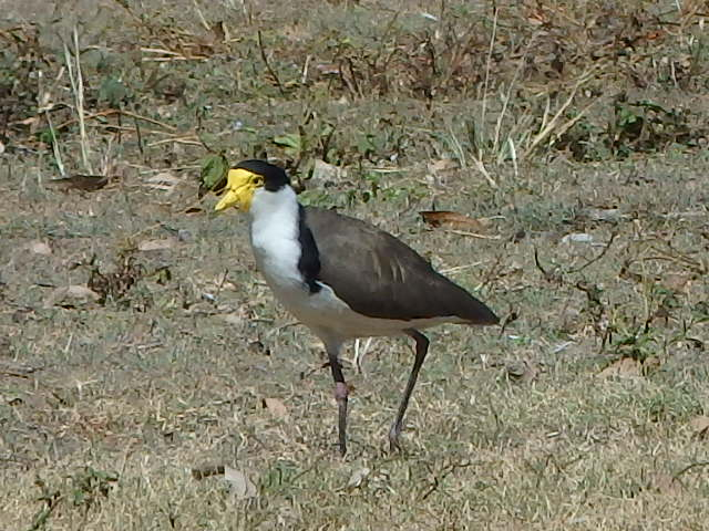masked winged plover