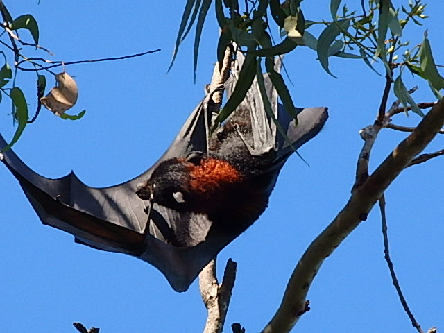 fruit bat or flying fox