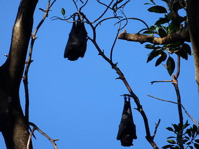 fruit bats or flying fox