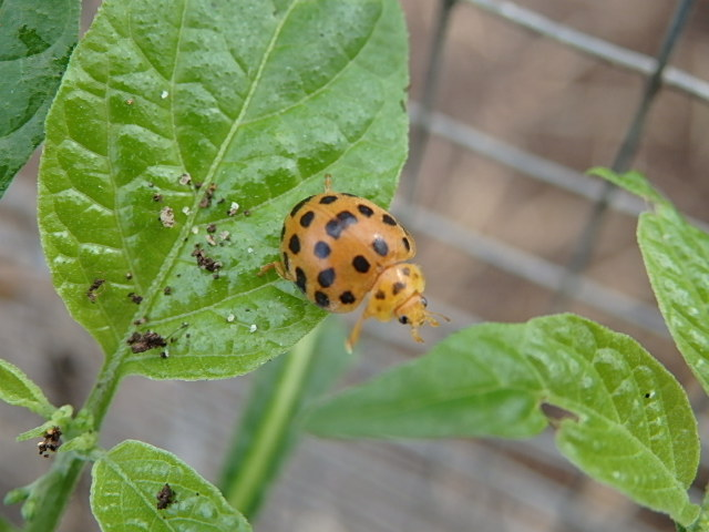 potato ladybird on leaf
