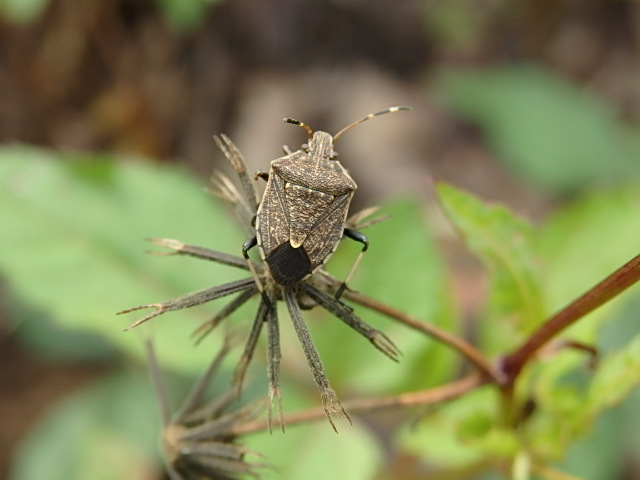 gum tree shield bug