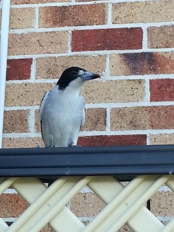 grey butcherbird sitting on a fence