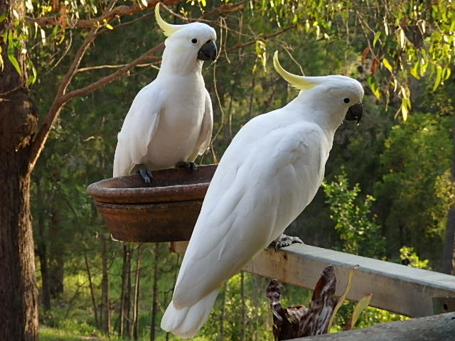 sulphur crested dockatoos on a feeder