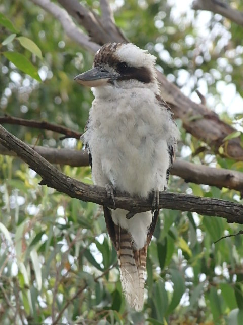 laughing kookaburra in a tree