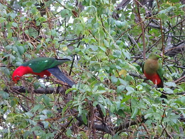 pair of king parrots in a tree