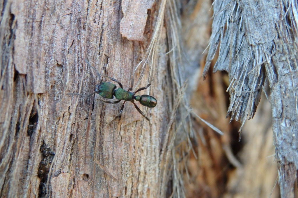 green head ant