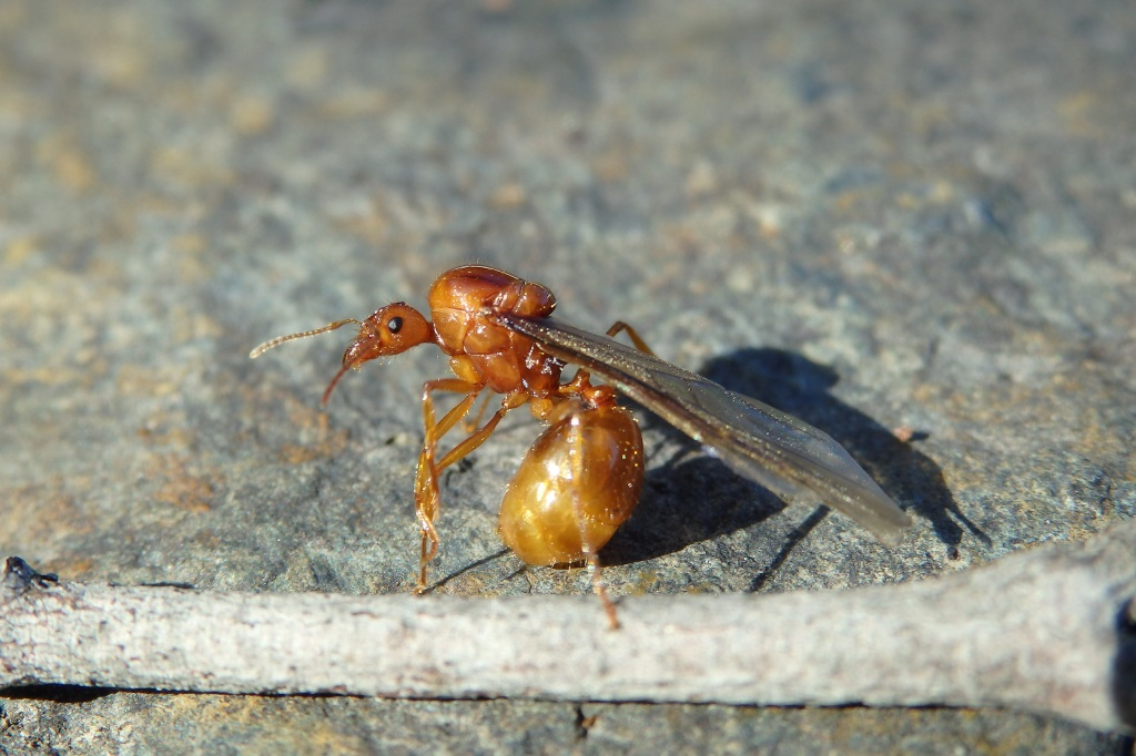winged queen ant