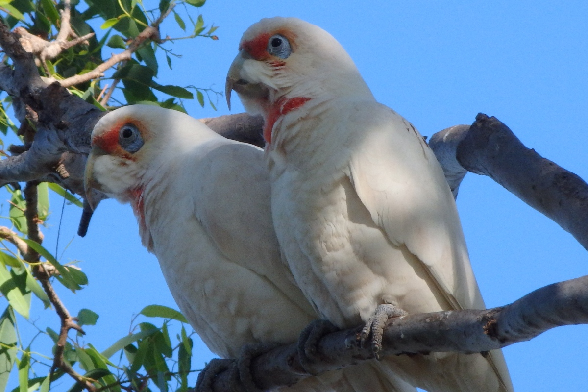 longbilled corellas sitting in a tree
