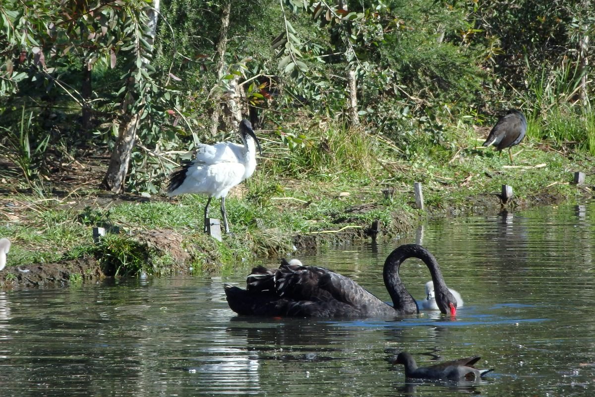 white ibis and blackswan