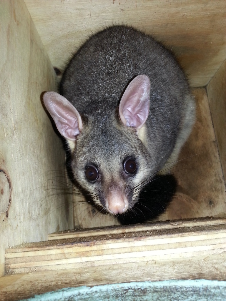 Young female brushtail possum in our possum box