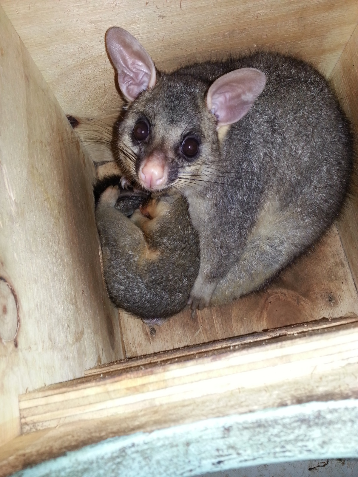 brushtail possum mother and joey