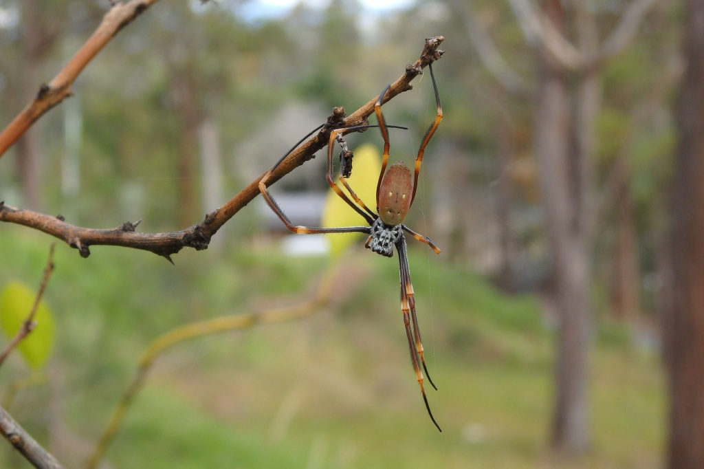 "Golden Orb Weaver ""just hangin' around"""