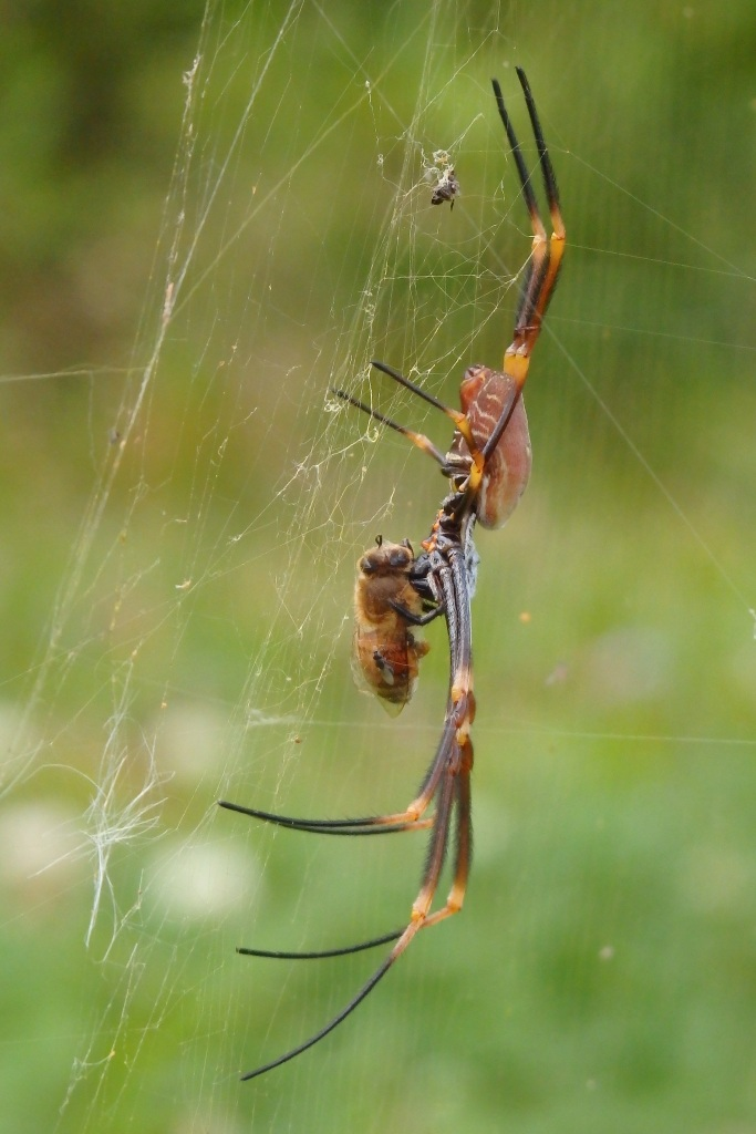 The Golden Orb Weaver making a meal of a honey bee