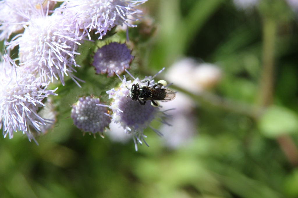 Native Bee - Tetragonula carbonaria