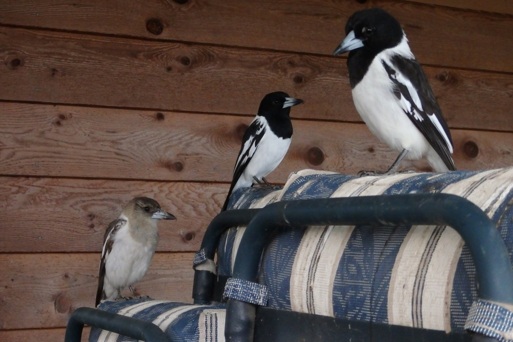 Pied Butcherbirds - 2 Adults and a Juvenile
