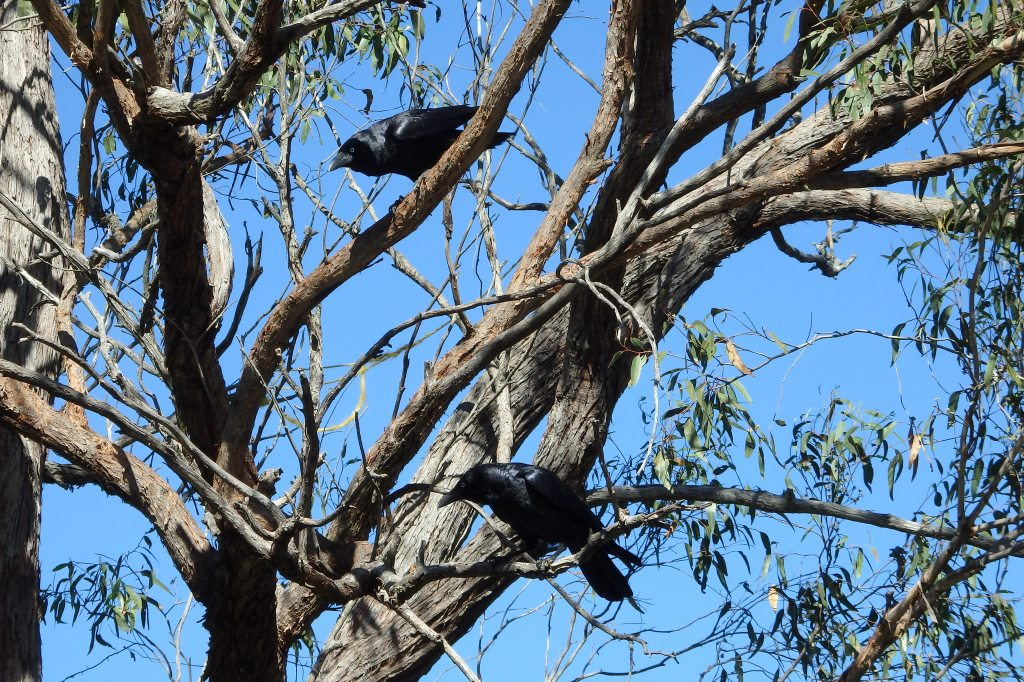 Pair of Torresian Crows