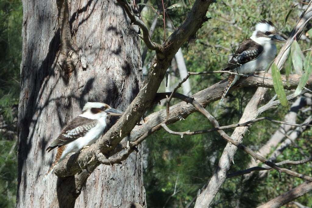Pair of Laughing Kookaburras