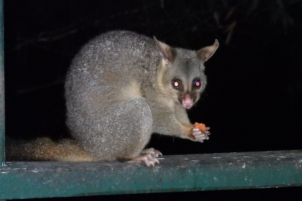 Male brushtail possum
