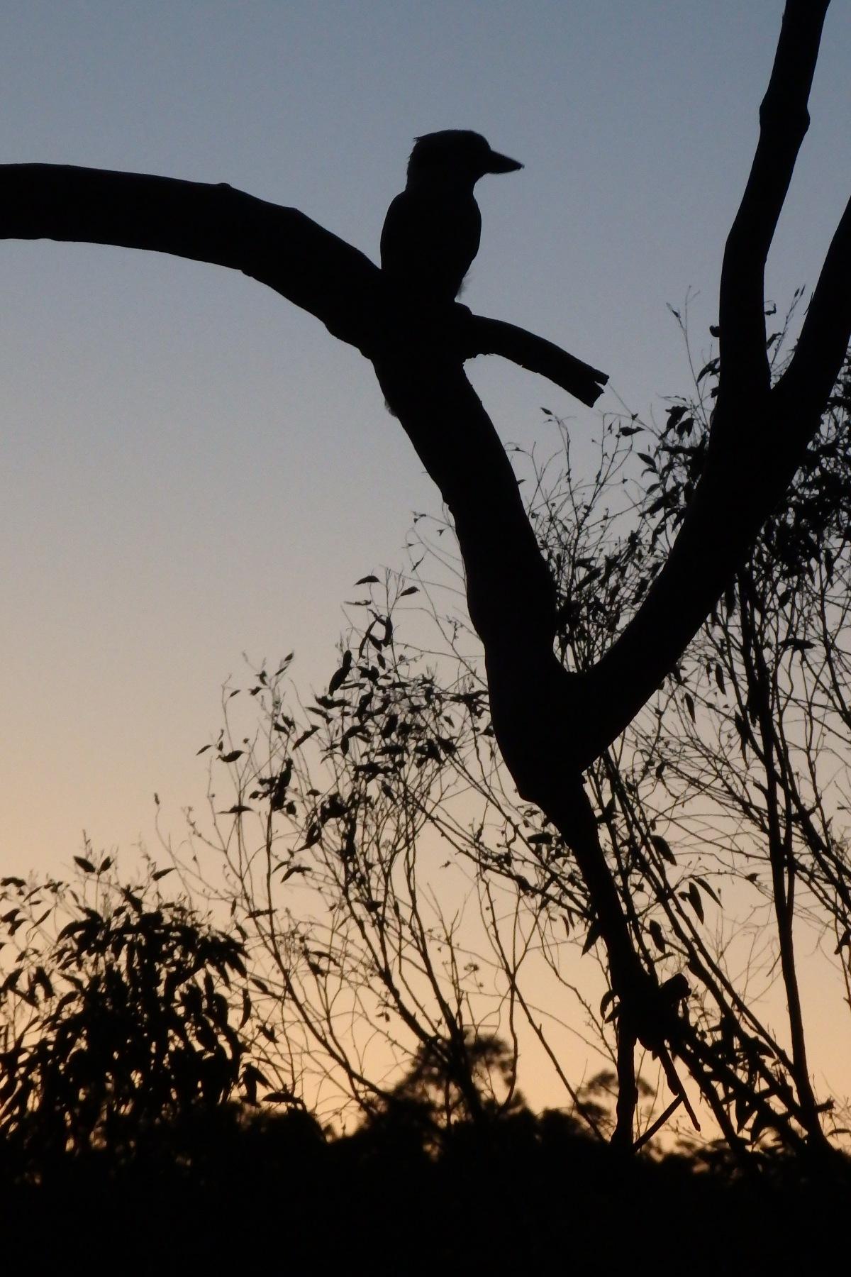 kookaburra at sunset