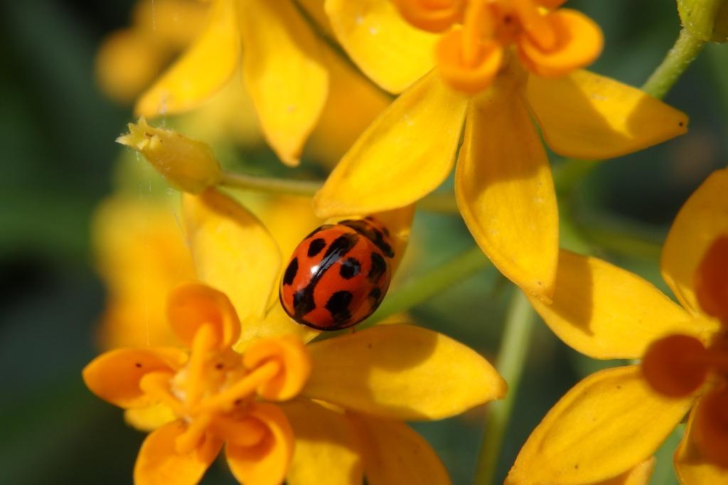 common ladybird