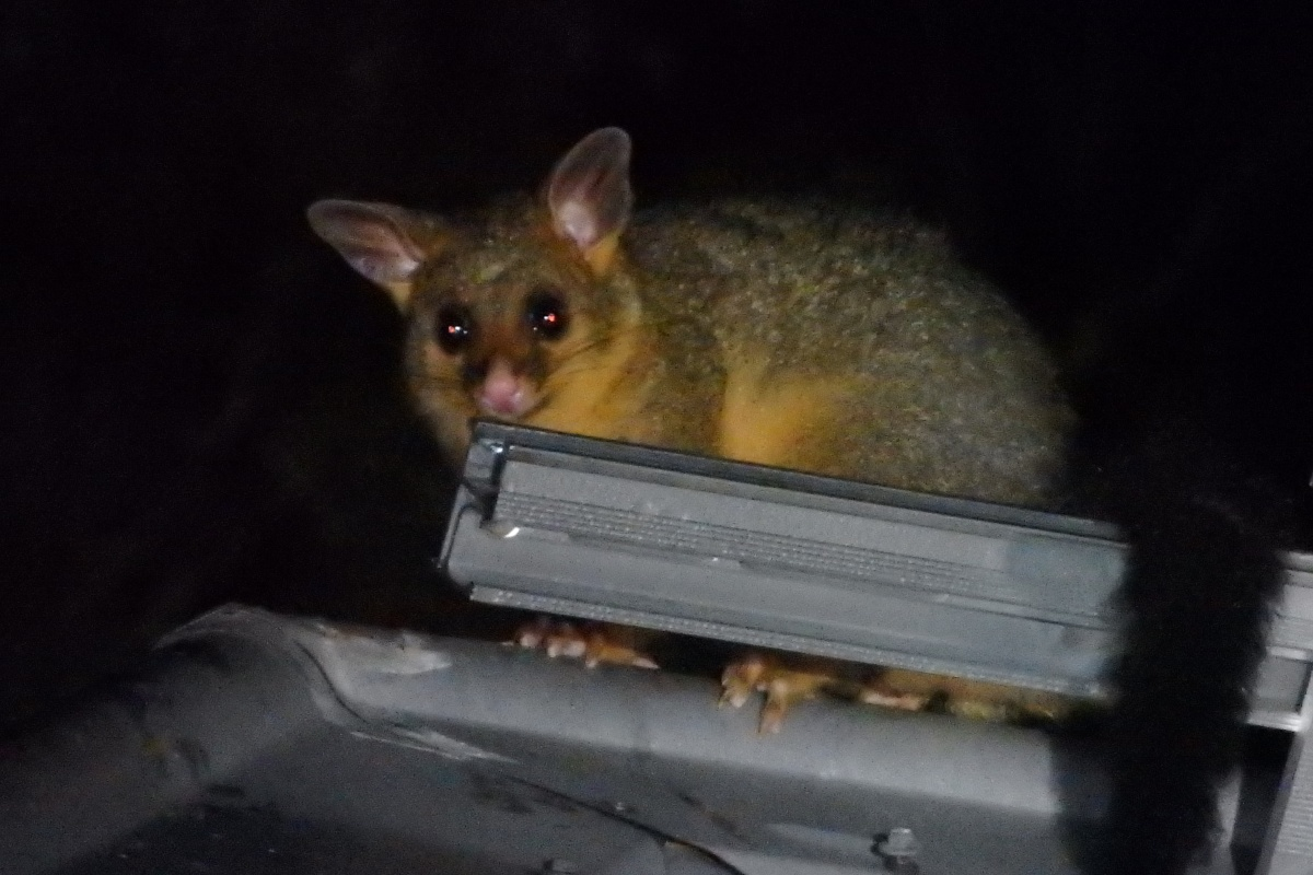 brushtail possum on a roof