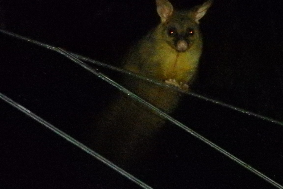 brushtail possum on the roof