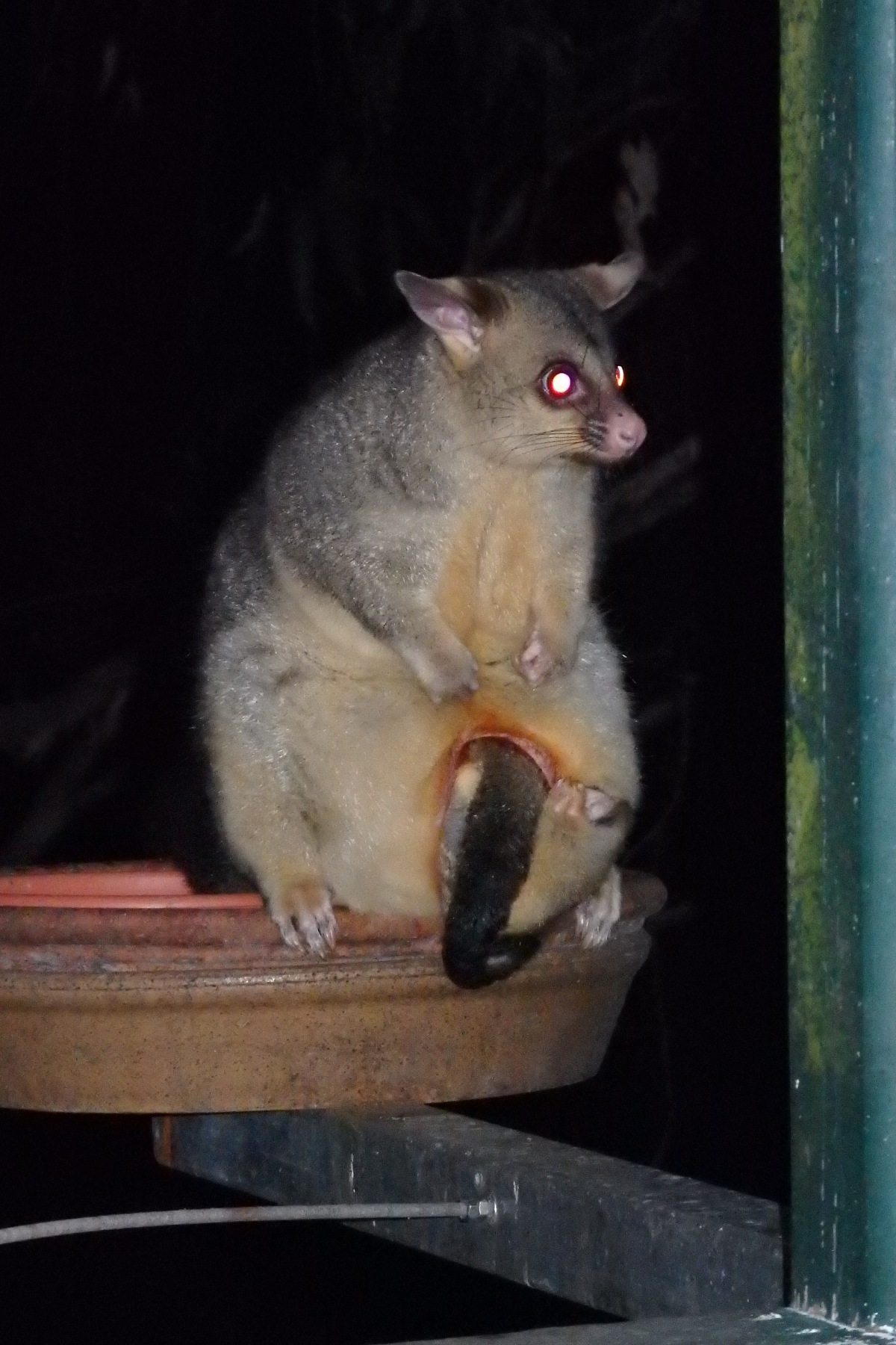 brushtail possum and joey