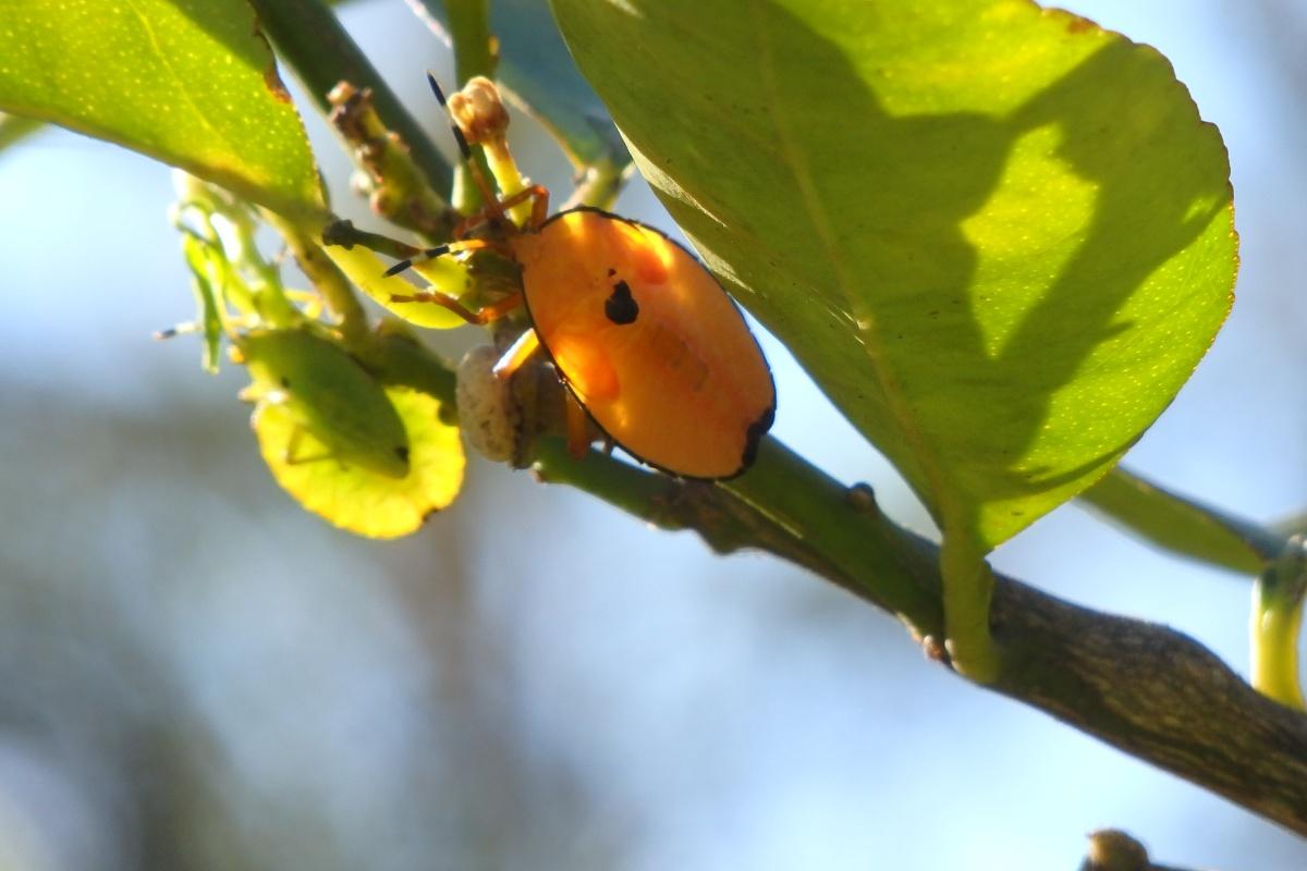 bronze orange bug on lime tree