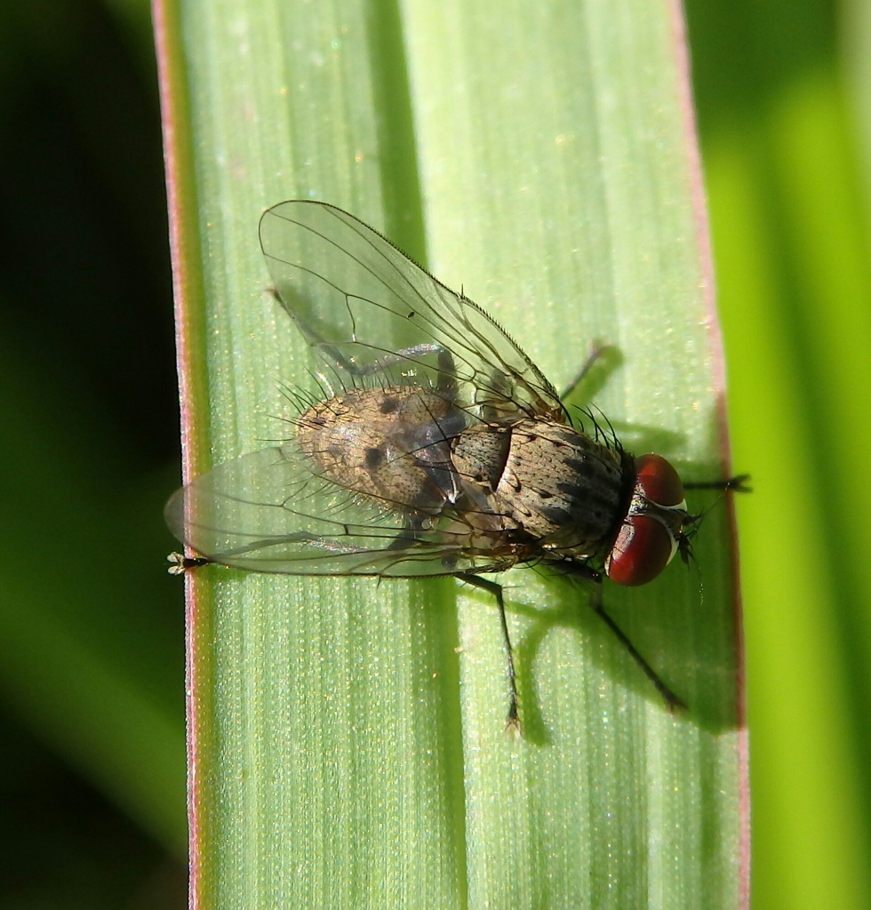 A fly - seems to be a cross between a true fly and a flesh fly