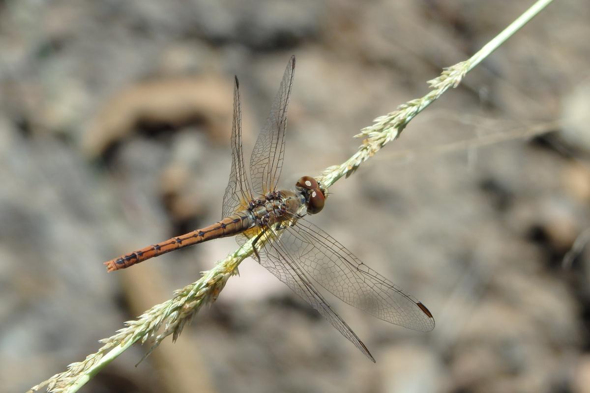 A female wandering percher dragonfly