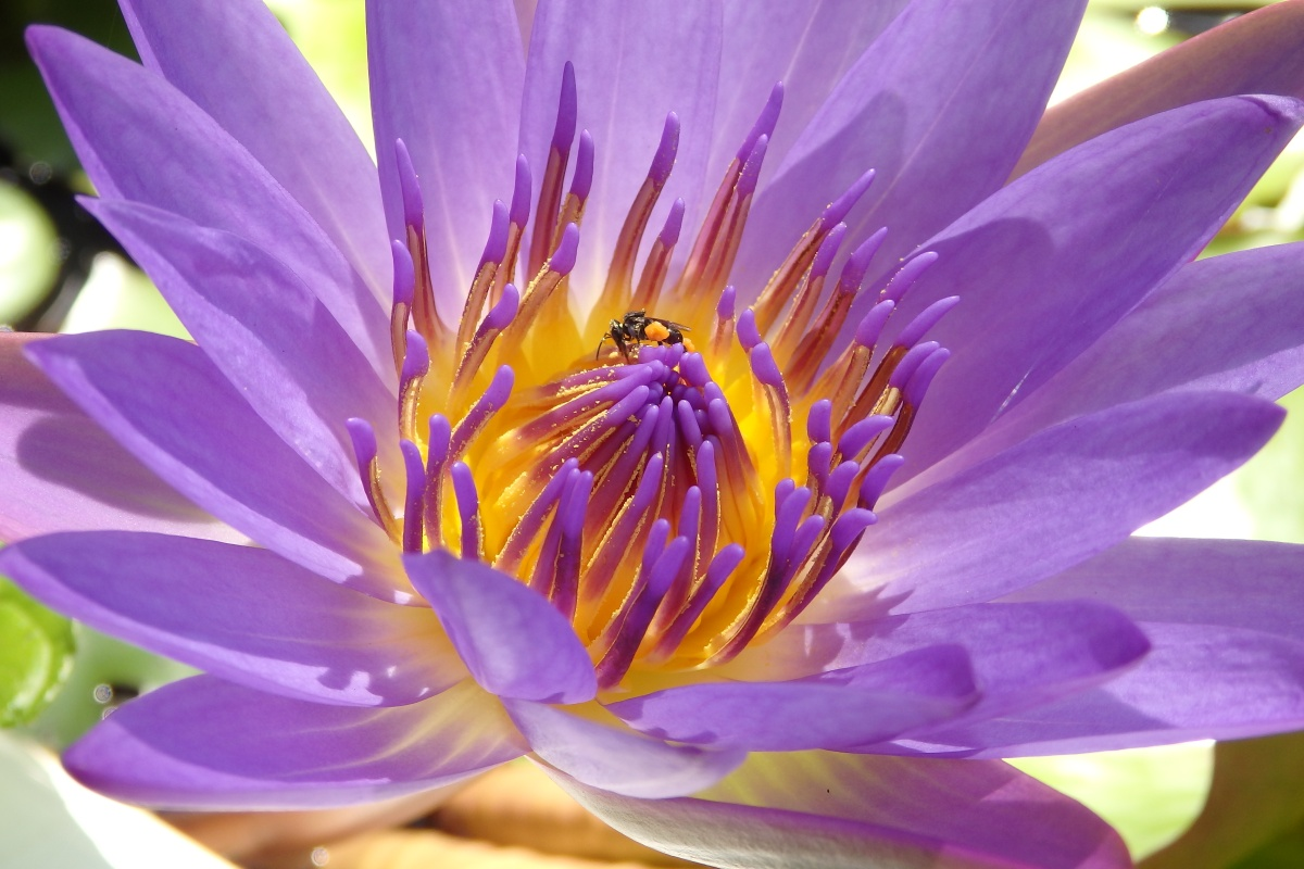 Native Stingless Bee on a lotus lily in our pond