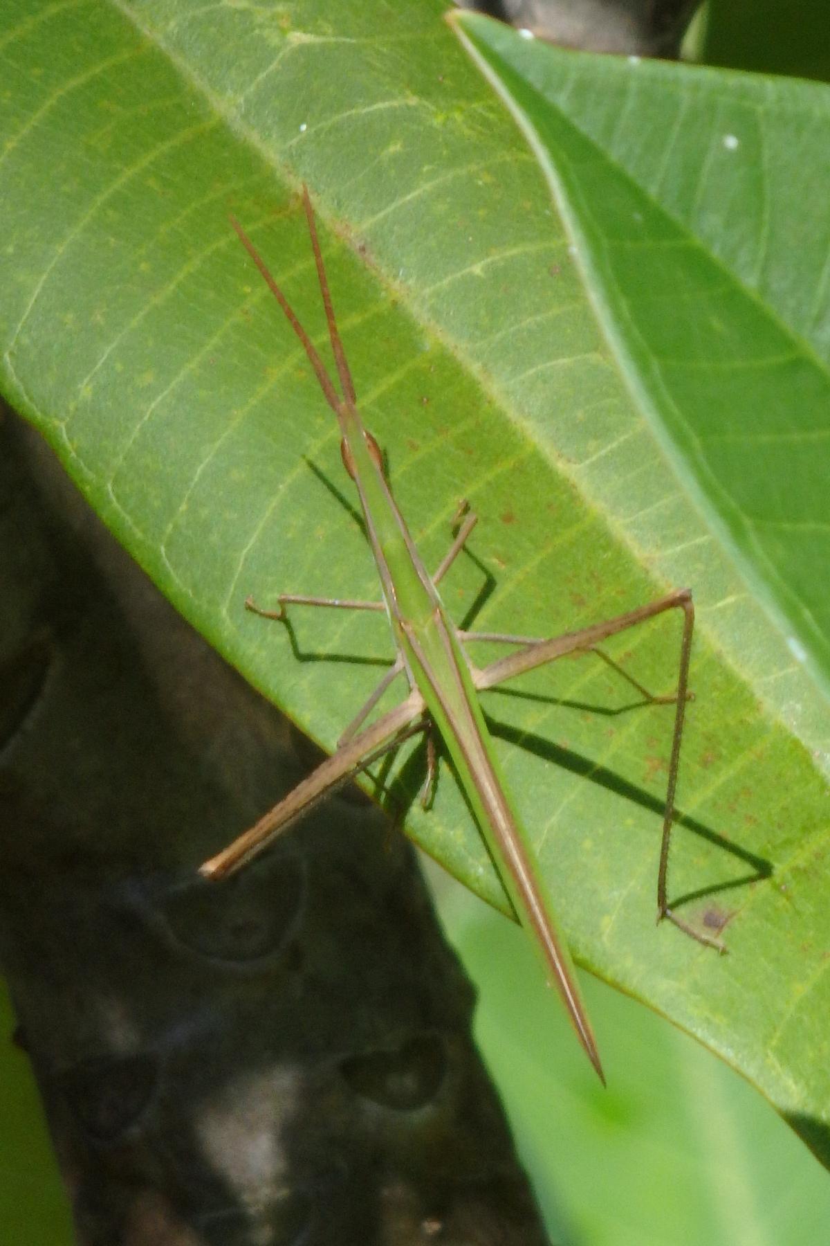 Giant Green Slantface Grasshopper