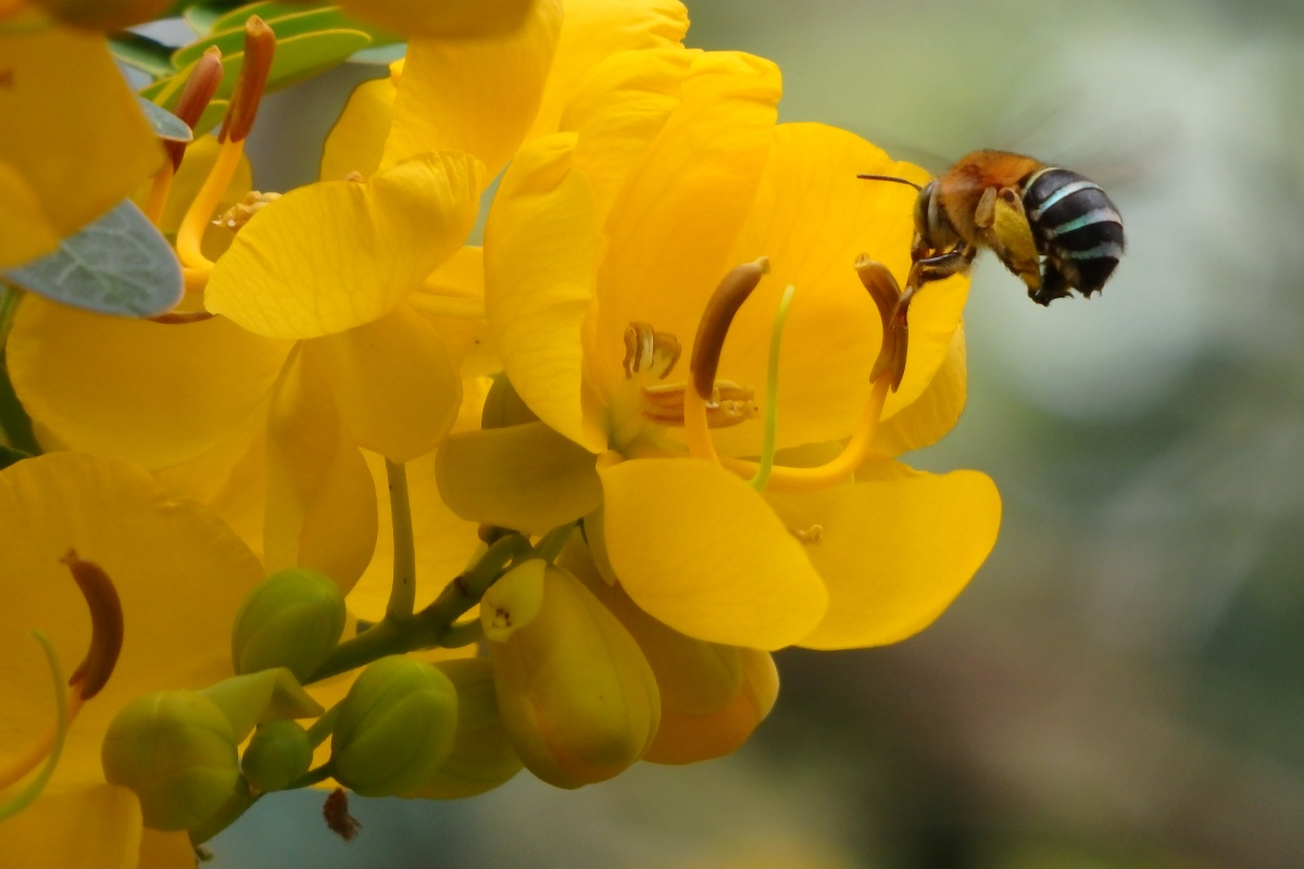 blue banded bee on a flower