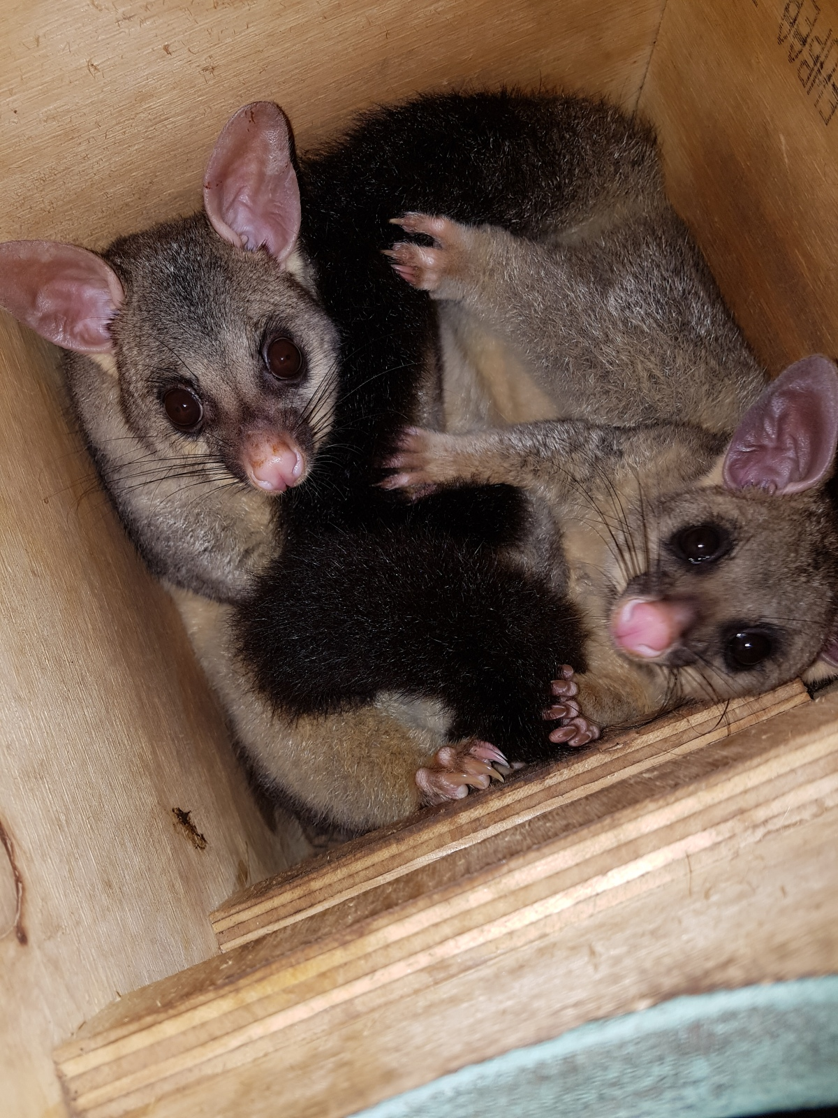 brushtail possum u2013 my wild australia
