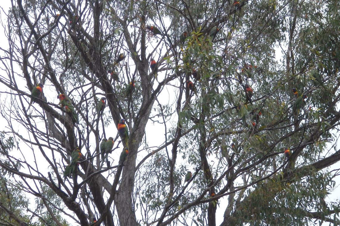 rainbow lorikeets in tree