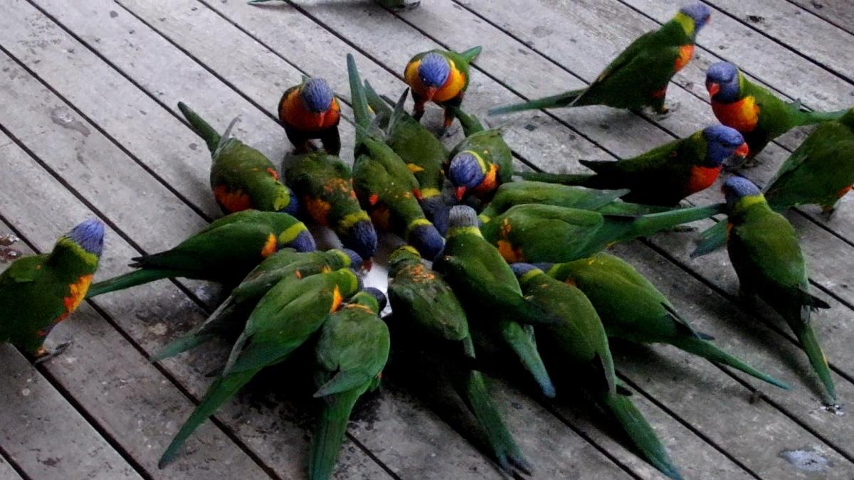 rainbow lorikeet u2013 my wild australia