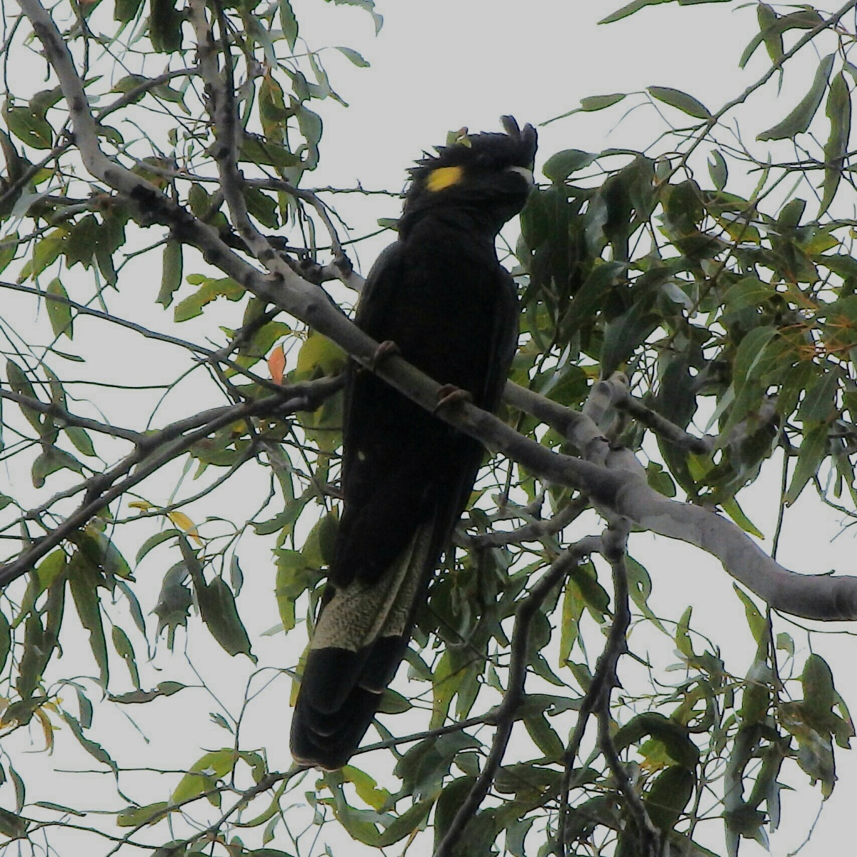 yellowtailed black cockatoo