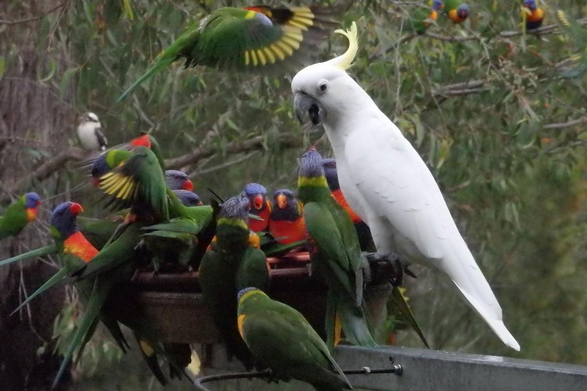 cockatoo and lorikeets