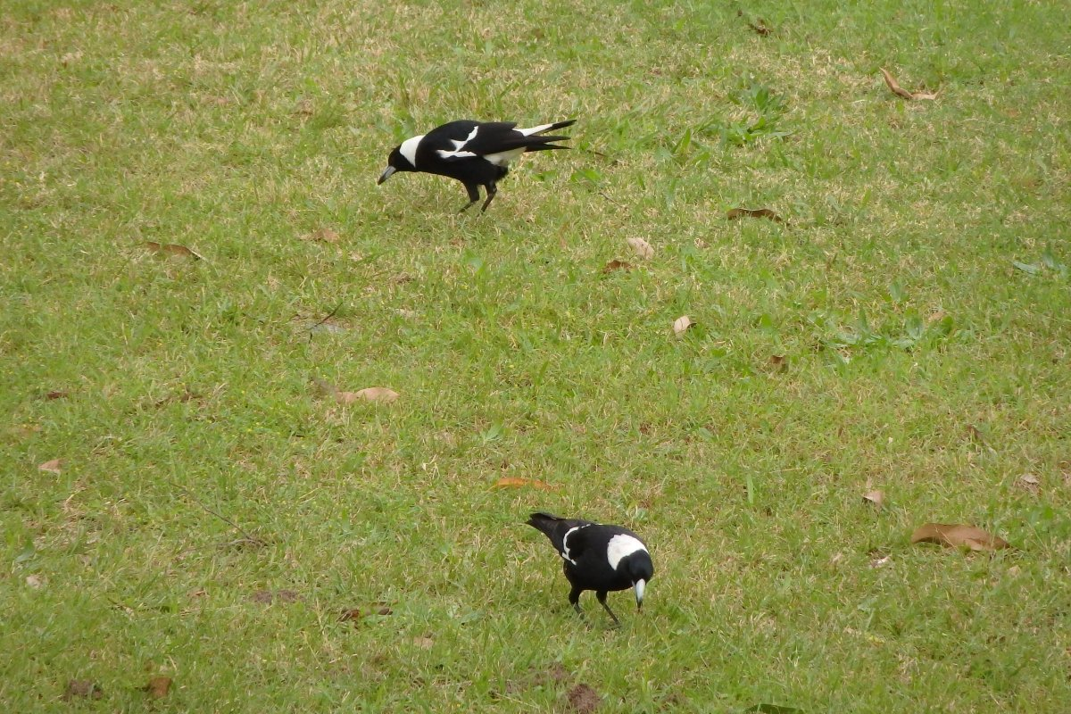australian magpies