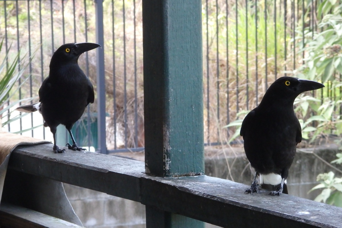 pied currawongs