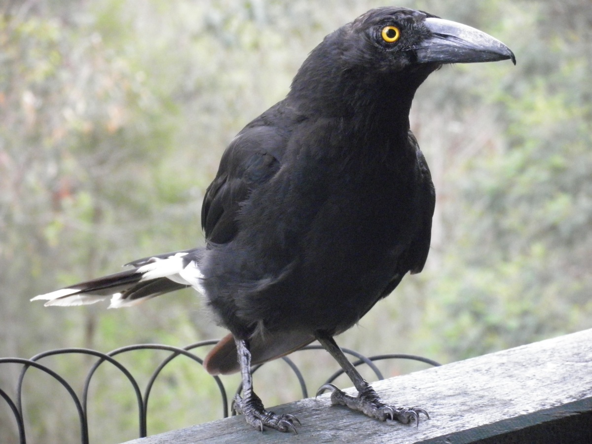 male pied currawong