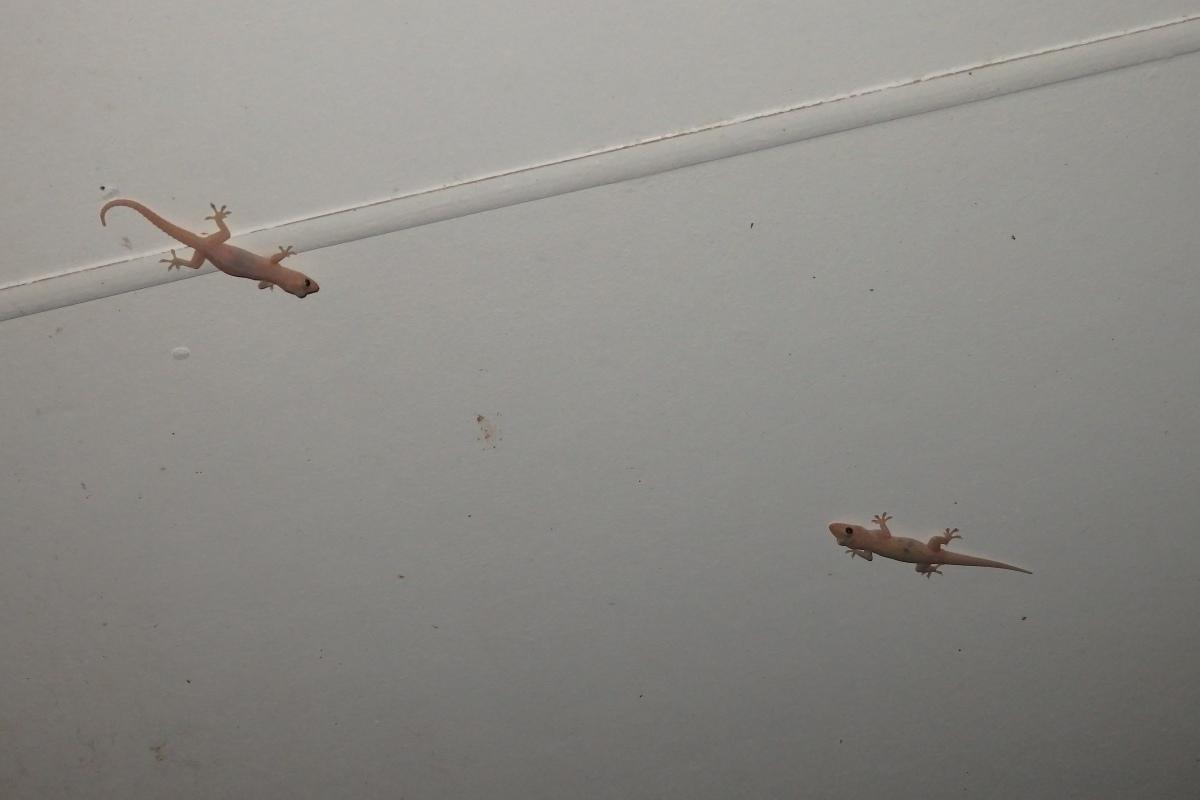 asian house geckos on ceiling
