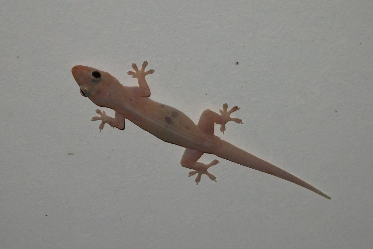 asian house gecko on ceiling